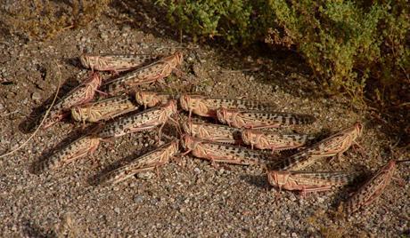 Grouping desert locusts (Schistocerca gregaria)