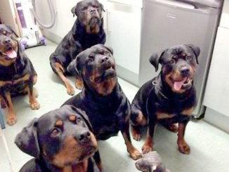 Rottweilers2